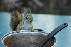 American red squirrel stealing food stock photos