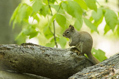 American red squirrel Stock Photography