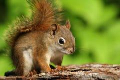 American Red Squirrel (Tamiasciurus hudsonicus) royalty free stock photos