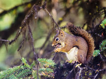Free American Red Squirrel (Tamiasciurus Hudsonicus) Royalty Free Stock Photos - 79560088
