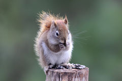 American Red Squirrel Stock Image