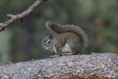 American red squirrel (Tamiasciurus hudsonicus) Stock Photography