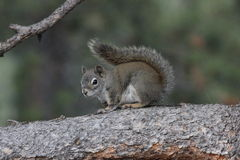 American red squirrel (Tamiasciurus hudsonicus) Royalty Free Stock Image