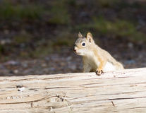 American red squirrel (Tamiasciurus hudsonicus) looks out from b Royalty Free Stock Photography