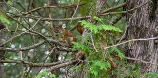American red squirrel. Tree Tamiasciurus hudsonicus pine North America granivores, Maine wildlife rural nature woodland critter Royalty Free Stock Image