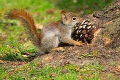 American Red Squirrel. Very young American Red Squirrel  holding a large pine cone in its mouth. Rosetta McClain Gardens, Toronto, Ontario, Canada Stock Image