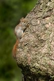 American Red Squirrel. Very young American Red Squirrel hugging the tree trunk and trying to make you believe it isn`t there. Rosetta McClain Gardens, Toronto Stock Image
