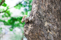 American Red Squirrel, wildlife Royalty Free Stock Photography