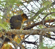 American red squirrel in winter tree Royalty Free Stock Photo