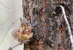 American red squirrel (Tamiasciurus hudsonicus) Royalty Free Stock Photography
