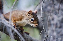 American red squirrel (Tamiasciurus hudsonicus) Royalty Free Stock Image