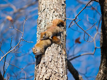 American red squirrels matting Royalty Free Stock Photo