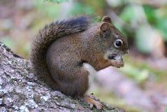 American Red Squirrrel feeding Stock Photo