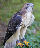 American Red-tailed Hawk.  Stock Images