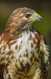 American red-tailed hawk. Close-up of a red-tailed hawk royalty free stock images