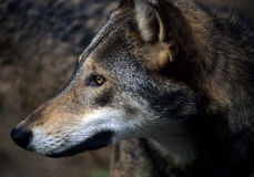 American Red Wolf. North American Red Wolf, Rare and Endangered Royalty Free Stock Photos