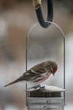 American Redpole. An american redpole on the top of a bird feeder Stock Image