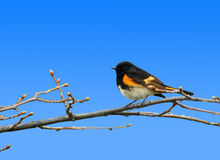 American redstar. Spring season: male American redstar warbler on branch with buds Royalty Free Stock Photos