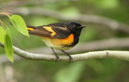 American Redstart Stock Photography