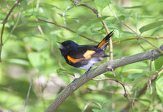 American Redstart. (setrophaga ruticilla) in the spring in Central Park, New York City Royalty Free Stock Photo