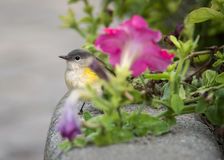 American Redstart Bird In Toronto Garden With Pink Petunia Flowers. A female American Redstart hunts for a meal among the petunias at Toronto, Ontario`s Rosetta Royalty Free Stock Photos