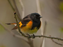 American Redstart Stock Photos