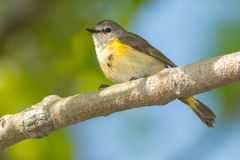 American Redstart. Female American Redstart perched on a branch Stock Photos