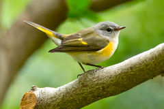 American Redstart. Female American redstart perched on a branch Royalty Free Stock Photography