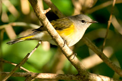 American Redstart. Female American redstart perched on a branch Stock Images