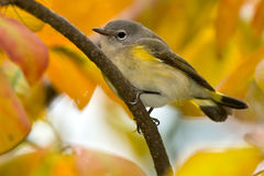 American Redstart. Female American redstart perched on a branch Stock Photo