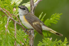 American Redstart Royalty Free Stock Photos