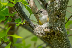 American Redstart. Female American Redstart sitting in her partially completed nest Stock Images