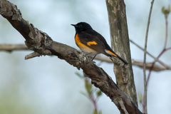 American Redstart. Male American Redstart perched on a branch Stock Photography