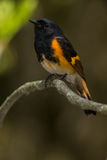 American Redstart Royalty Free Stock Images