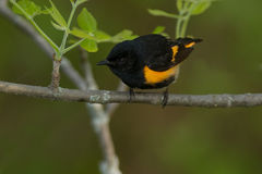 American Redstart Stock Images