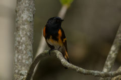 American Redstart. Male American Redstart perched on a branch Royalty Free Stock Photos