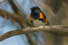 American Redstart. Male American Redstart perched on a branch Stock Photos