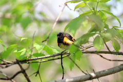 American Redstart male Stock Image