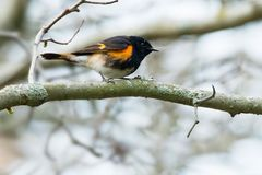 American Redstart. Perched on a branch. Ashbridges Bay Park, Toronto, Ontario, Canada Royalty Free Stock Photo