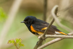American Redstart royalty free stock image