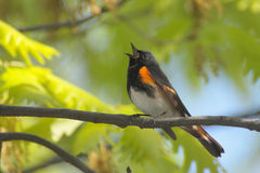 American Redstart Singing Royalty Free Stock Images