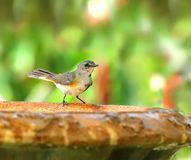 American Redstart standing on a birdbath. Female American Redstart, a medium sized warbler, perched to take a drink from a birdbath Royalty Free Stock Photography