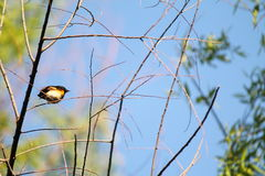 American Redstart. On a thin branch with blue sky background Stock Photography