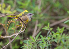 American Redstart on a twig. A female American Redstart (Setophaga ruticilla) on a branch at the Island of Cuba Stock Photos