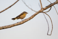 American Redstart on a twig. A female  American Redstart (Setophaga ruticilla) perches on a dry twig at the Island of Cuba Royalty Free Stock Photo