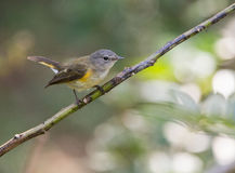 American Redstart on a twig Stock Image