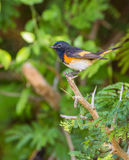 American Redstart on a twig. A male  American Redstart (Setophaga ruticilla) perches on a dry twig at the Island of Cuba Stock Photo