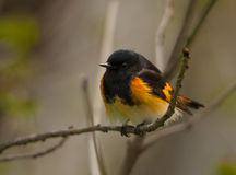 American Redstart. A vibrant male American Redstart, one of the American wood warblers, perches on a branch in a Wisconsin forest while foraging for food Stock Image