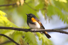 American Redstart Warbler royalty free stock photography