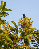 American Redstart on yellow flowers. A male American Redstart (Setophaga ruticilla) rests on a bunch of yellow flowers at a tree on the Island of Cuba Royalty Free Stock Photos